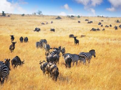 lake manyara zebra