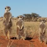 Kalahari Desert safari