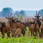 Kafue National Park antelopes